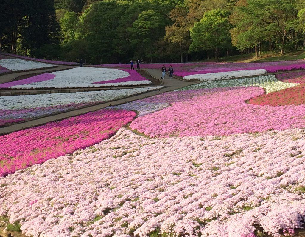 羊山公園芝桜